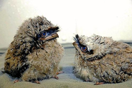 baby owls via ZooBorns