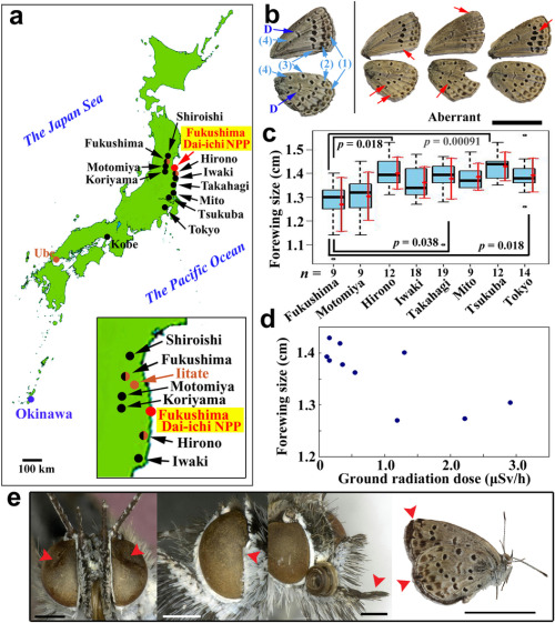 The collapse of the Fukushima Dai-ichi Nuclear Power Plant caused a massive release of radioactive materials to the environment. A prompt and reliable system for evaluating the biological impacts of this accident on animals has not been available. Here we show that the accident caused physiological and genetic damage to the pale grass blue Zizeeria maha, a common lycaenid butterfly in Japan. We collected the first-voltine adults in the Fukushima area in May 2011, some of which showed relatively mild abnormalities. The F1 offspring from the first-voltine females showed more severe abnormalities, which were inherited by the F2 generation. Adult butterflies collected in September 2011 showed more severe abnormalities than those collected in May. Similar abnormalities were experimentally reproduced in individuals from a non-contaminated area by external and internal low-dose exposures. We conclude that artificial radionuclides from the Fukushima Nuclear Power Plant caused physiological and genetic damage to this species.