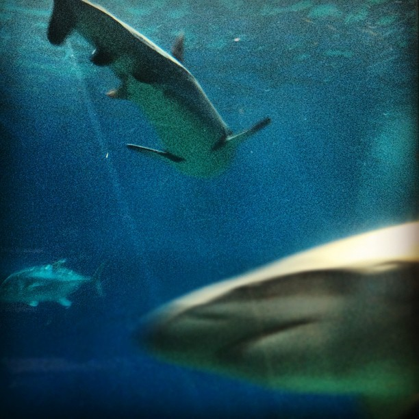 Reef sharks at the #Maui Ocean Center. #hawaii #ermahmauri #sharkweek #shark  (Taken with Instagram)
