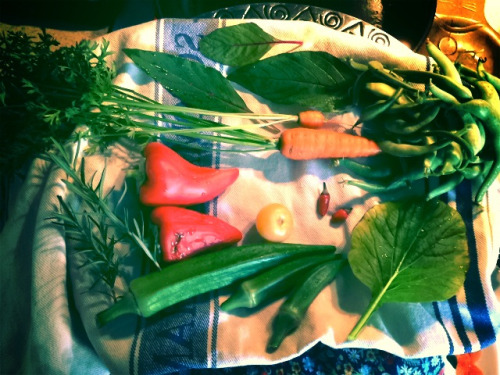 Random grab bag from our garden yesterday: amaranth, green beans, carrots, Explosive Embers peppers, lettuce, okra, Peslo peppers and rosemary. I'm terrified of the tiny hot peppers but the rest was delicious last night. #gardendc #growyourown