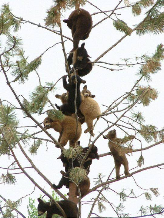 fyeahlilbitoeverything:  gatesofjanus:  Bears in trees. Doing bear things.  Get down.  IT'S A TRAP