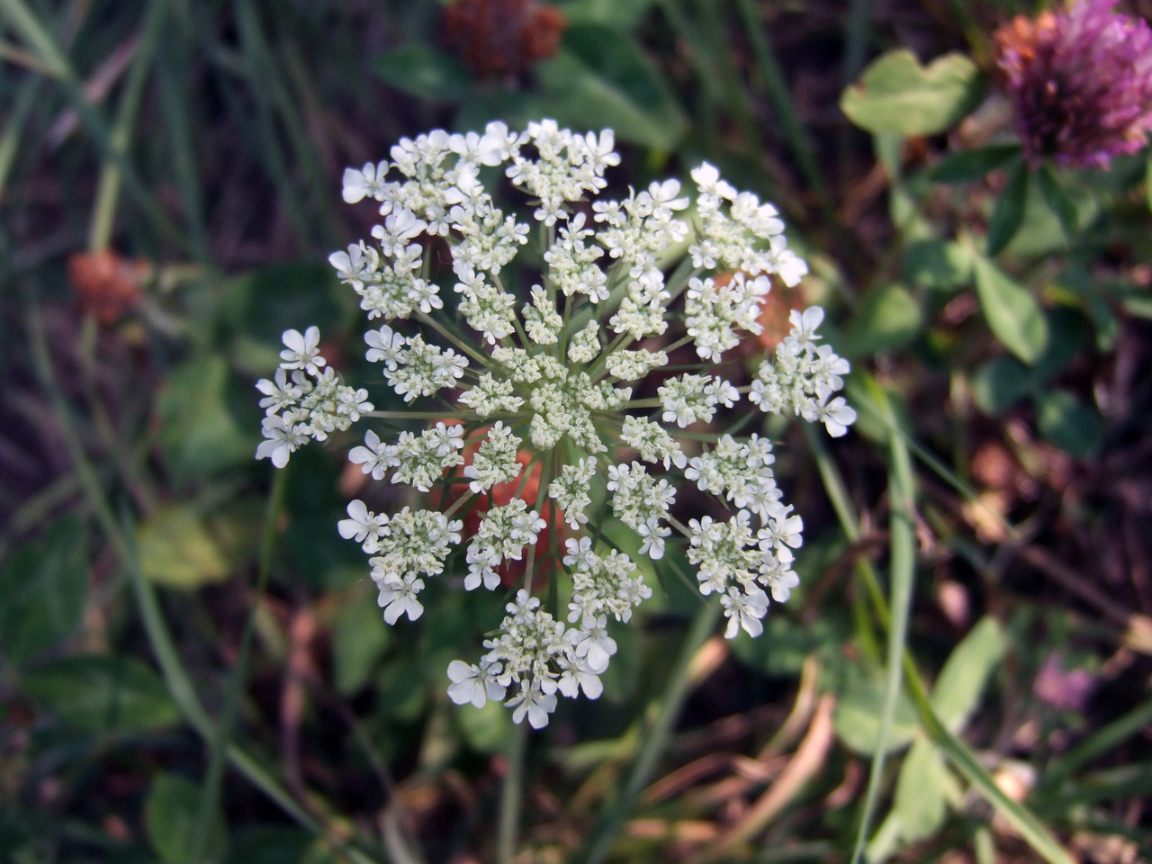 Queen Anne's Lace? Marco shot.