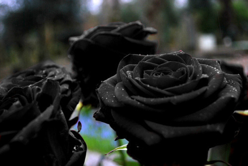 endswealthcorp:  black roses