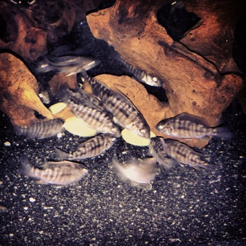 A frenzy of fry! #fishtank #mytank #freshwatertank #fish #fisch #aquatic #thelifeaquatic #freshwater #freshwaterfish #tropical #aquaria #Aquarium #communitytank #instafish #fishhub #fishgeek #underwaterworld #aquascape #cichlids #waterworld #underwater #ciclidtank #growouttank #hap #haplochromis #peacock #fry  (Taken with Instagram)