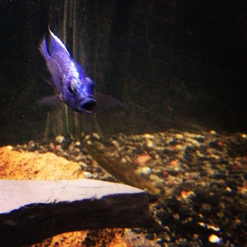 Whassup?! #fishtank #mytank #freshwatertank #fish #fisch #aquatic #thelifeaquatic #freshwater #freshwaterfish #tropical #aquaria #Aquarium #communitytank #instafish #fishhub #fishgeek #underwaterworld #aquascape #cichlids #waterworld #underwater #ciclidtank #100gallon #electricblue #ebh #hap #haplochromis  (Taken with Instagram)