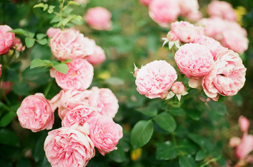 therainydaydream:  wild roses by whimsical jane on Flickr.  Posted on TumTum ♻