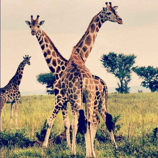 On our #kenyasafari #giraffe #lakenakuru #lakenakuru  (Taken with Instagram)