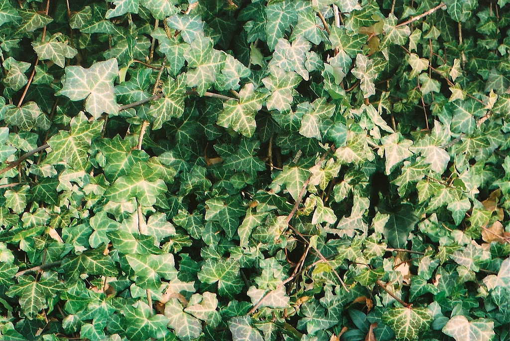 timidsouls:  Ivy in the sun (by Emma.Ann)