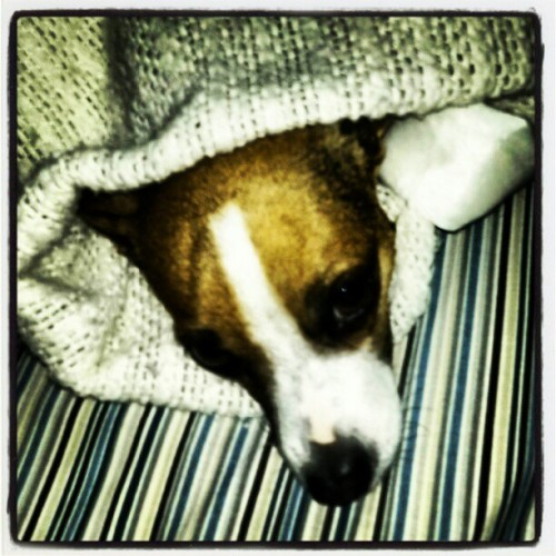 All wrapped up watching me work. #ratterrier #pets #snuggle (Taken with Instagram)