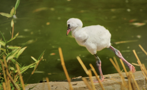theanimalblog:  young American Flamingo (Phoenicopterus ruber) from Ostrava (cz)  photo by Lukas Koscelniak