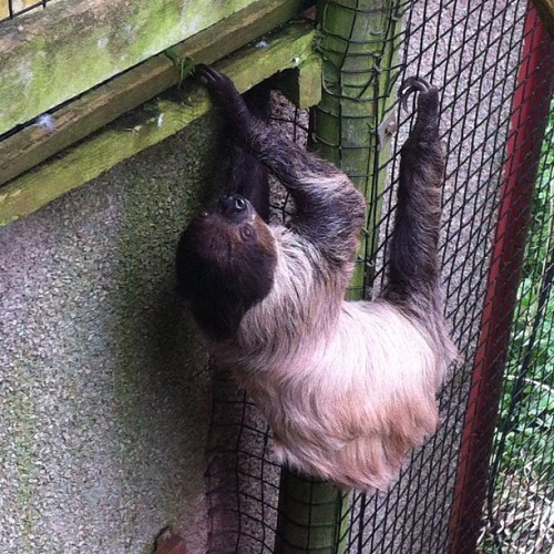 SLOTH (Taken with Instagram at Aviary at South Lakes Wild Animal Park)