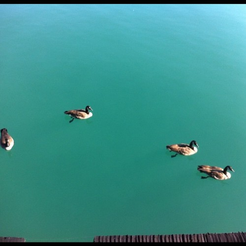 These geese make the water around the pier look so appealing. #chicago #wildlife (Taken with Instagram at Navy Pier)