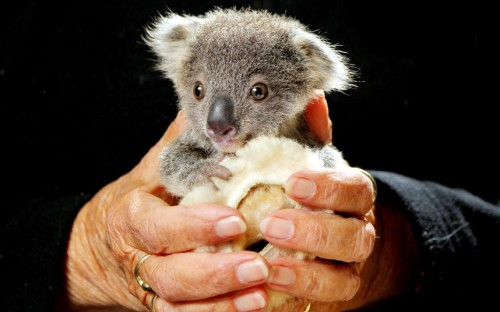 theanimalblog:  Orphaned four-month-old koala joey Squeaky is cared for at Port Macquarie Koala Hospital, New South Wales, Australia. He was found whimpering in his mother's pouch after she was struck by a car on the Oxley Highway two weeks ago. He's a very quiet little fella, but he's doing OK, hospital supervisor Cheyne Flanagan said. He just clings to a little sheepskin roll that mimics his mummy. Picture: Newspix / Rex Features