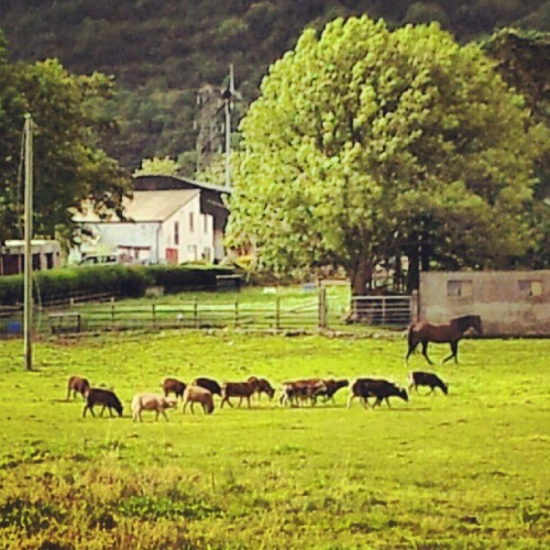 The farm behind my house #farm #horses #sheep #goats #wildlife #nature #farming #beautiful #all_shots #animals #instagramers #ireland #instadaily #instagramhub #instagroove #instatalent #instagood #photooftheday #bestagram #bestoftheday #jj #getpopular #follow #swag #snapseed #swaggie  (Taken with Instagram)