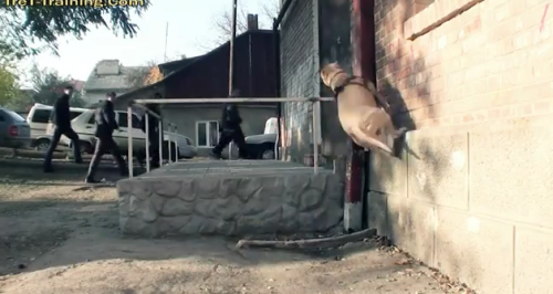 laughingsquid:  Super Dog, A Video Featuring TreT the Parkour Dog From Ukraine