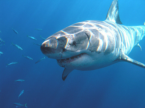 "Fun fact for Shark Week: Where do sharks go? Our researchers have made surprising discoveries. Tagged sharks traveled from Southern California down the Baja Peninsula. Adult white sharks off Northern California have journeyed to the Eastern Pacific and the ""Shark Café,"" and as far west as Hawaii. Some made 1,000-foot dives! Check out this Today.com interview with our researchers, and see shark travels in real time at the GTOPP website. Learn more about shark conservation at the Aquarium."