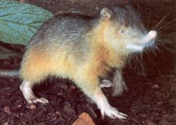 Resembling a gigantic shrew, the Cuban solenodon (Solenodon cubanus) has tiny eyes , poor vision, and a great sense of both smell and hearing.. Did I mention they live the night life? At night, they come out and search for food, using their long snouts to find invertebrates- and those long claws aren't for show! They're used to dig up prey and then they'll inject them with venom. Yep, there's venom hidden in those incisors of theirs. Those special venom-filled groves in the teeth are unique to this mammal only!   Despite living in  groups of up to eight individuals in one burrow- they're thought to be a very rare species. Listed as endangered by the IUCN, only 37 have been caught to date.