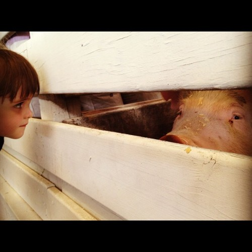 Oh hai! #pigs @mcagfair (Taken with Instagram at Montgomery County Fairgrounds)