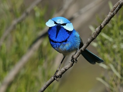 fairy-wren:  splendid fairy wren (photo by david cook)
