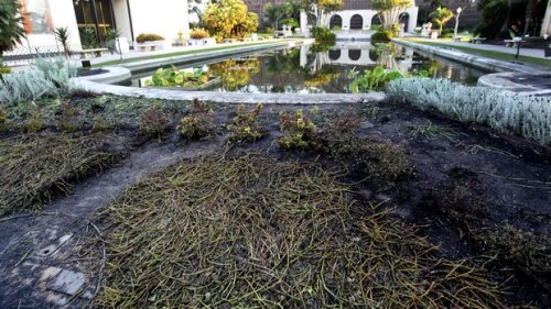 "nybg:  Disturbing news from our friends at Balboa Park in San Diego where the ""Laguna de las Flores"" water lily pond was extensively damaged last weekend by attendees of an overnight adult water gun fight. Infrastructure, plantings, and fish in the iconic water lily pond were damaged. This beautiful space was built in the 1200-acre park as part of the Panama-California Exposition and has a rich history that includes stints as a training pool to teach new recruits to swim during World War I and as a place of rehab for injured GIs returning to the States during World War II. Balboa Park is also home to the awesome San Diego Zoo and many museums and theaters. It's a really amazing place. The water gun fight, which was not technically illegal, was arranged via social media. Police and the park's one overnight guard were aware of the impending fight. It is estimated that the event was attended by an 300-400 people (though one witness estimated the crowd at nearly 1,000). Damage is estimated at about $10,000 and charges are expected to be pressed against anyone found to have been involved in the vandalism. If you have information about the damage, please contact the San Diego police department. If you would like to help fund restoration of the pool, click here. ~AR"