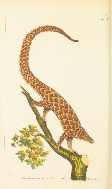 scientificillustration:  n233_w1150 by BioDivLibrary on Flickr.  Pangolins are the coolest animals.