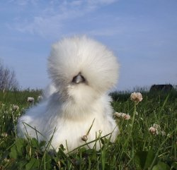 "catsbeaversandducks:  ""Chick, I'm fabulous."" Photo via Imgur"
