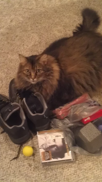 Fat Cat loves to sit in my stuff. Like my stinky work shoes.