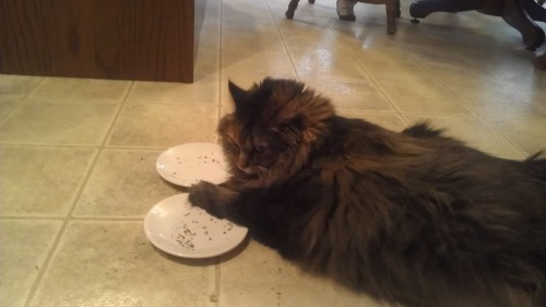 Fat cat likes to have two plates of catnip