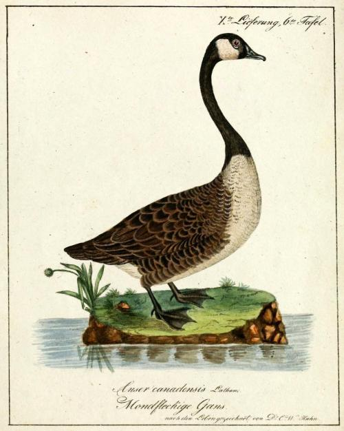 "biomedicalephemera:  Canada Goose - Branta canadensis Can you believe that this incredible nuisance of a bird was once on the verge of extinction - and not in the distant past? Hunting and slaughter by farmers in the late 1800s led to the critical endangerment of the entire Branta canadensis species, until the International Migratory Birds Treaty was passed in 1918. While the species as a whole began a slow recovery process at that point, several of the subspecies were still on a rapid decline due to habitat loss, and by 1962, both the Aleutian and Giant Canada Goose were believed to be functionally extinct. However, the discovery of a wintering flock of Giant Canada Geese in Rochester, MN, that year, and the discovery of two small Aleutian Canada Geese flocks the next year, kicked off a conservation movement to restore the habitat and flyways for the entire species. Well, the movement worked, obviously. In less than 40 years, all seven subspecies have been removed from the endangered species list, and the species as a whole is now considered a nuisance bird in many areas. As they prefer open spaces with water, they're often present in the same area as humans: around beaches, airports, and golf courses; their toxic droppings (not to mention their big ol' engine-clogging bodies) have caused many problems over the past decade or so. In fact, they were the cause of the birdstrike that resulted in the ""Miracle on the Hudson"" a few years back. So far, culling and extermination efforts have only had limited effects on the overall population. Voegel, aus Asien, Africa, America, und Neuholland in Abbildungen nach der Natur mit Beschreibungen. Carl Wilhelm Hahn, 1818."
