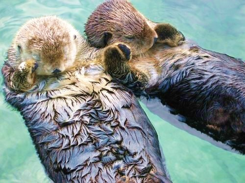 TIL that the reason otters hold hands while they sleep is so they don't float away from each other while sleeping.  Then I died of a cute overdose.