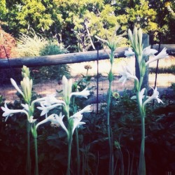 * polianthes tuberosa * (Taken with Instagram at home)