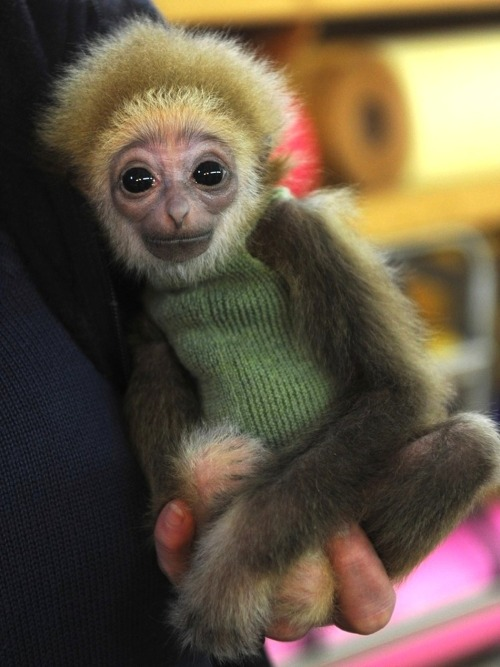 funnywildlife:  Hahaha!! This Baby Gibbon Looks Like An Amish E.T. Does it not? And it's wearing a little gibbon sweater. Jesus. And its little gibbon name is Knuppy. Double Jesus.