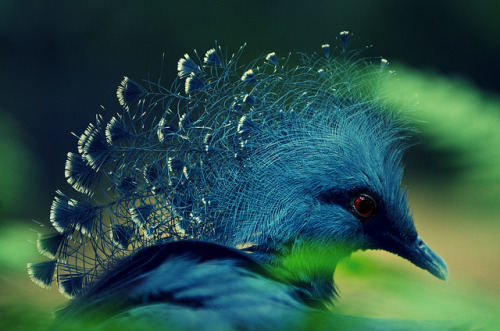 lovenature:  Victoria Crowned Pigeon by Phoe Chan