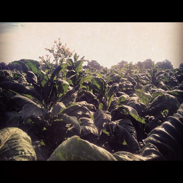 Tobacco!!! (Taken with Instagram)