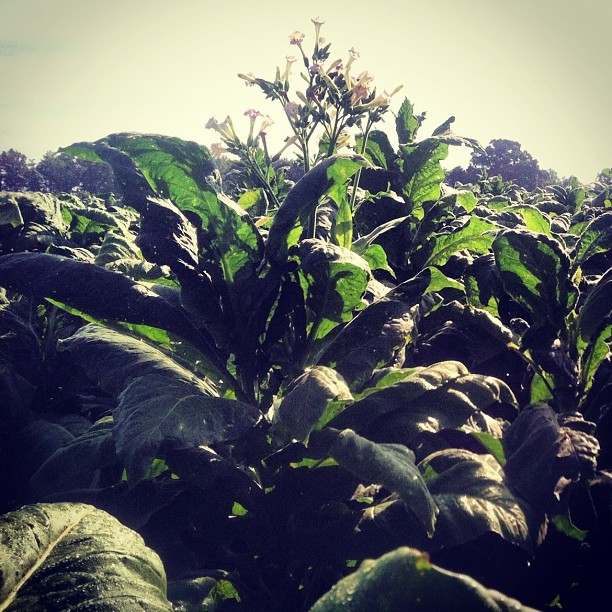 Tobacco Field (Taken with Instagram)