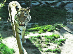 i got an awesome shot of a tiger coming right up to the glass at the philadelphia zoo