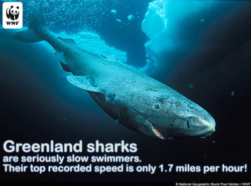 Greenland Shark by World Wildlife Fund on Flickr.#sharkweek :)