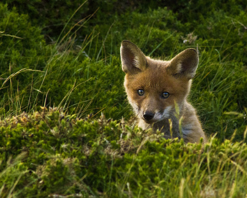 tumble-of-life:  Baby fox cub  by john f Murphy on Flickr.