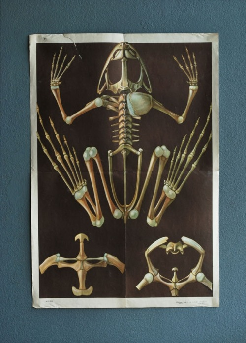 agentgallery:  1950's Frog Skeleton SOLD