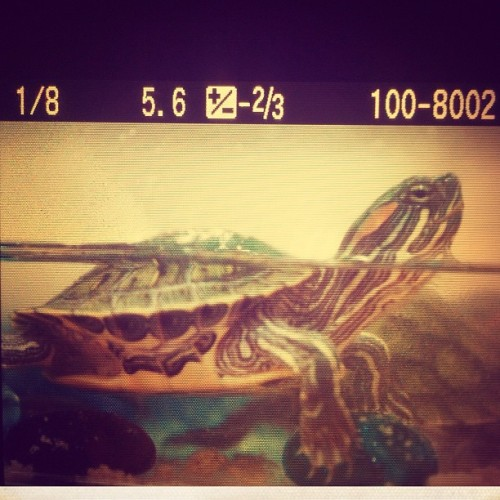 One of my loves :) <3 #turtles (Taken with Instagram)