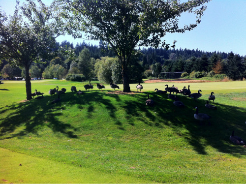 226. Aug 14. Today on Heron Links, the par 3 at Willows Run. Saw this gaggle-o-geese out for a stroll on the 2nd hole, then came around to see them on the 9th tee box as well, with plenty of geese sh** on the 8th green in my putting line -___-