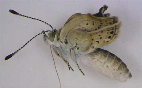 Around 12 per cent of pale grass blue butterflies that were exposed to nuclear fallout as larvae immediately after the tsunami-sparked disaster had abnormalities, including smaller wings and damaged eyes, researchers said. The insects were mated in a laboratory well outside the fallout zone and 18 per cent of their offspring displayed similar problems, said Joji Otaki, associate professor at Ryukyu University in Okinawa, southwestern Japan. That figure rose to 34 per cent in the third generation of butterflies, he said, even though one parent from each coupling was from an unaffected population. (via Fukushima 'caused mutant butterflies' in Japan - Telegraph)