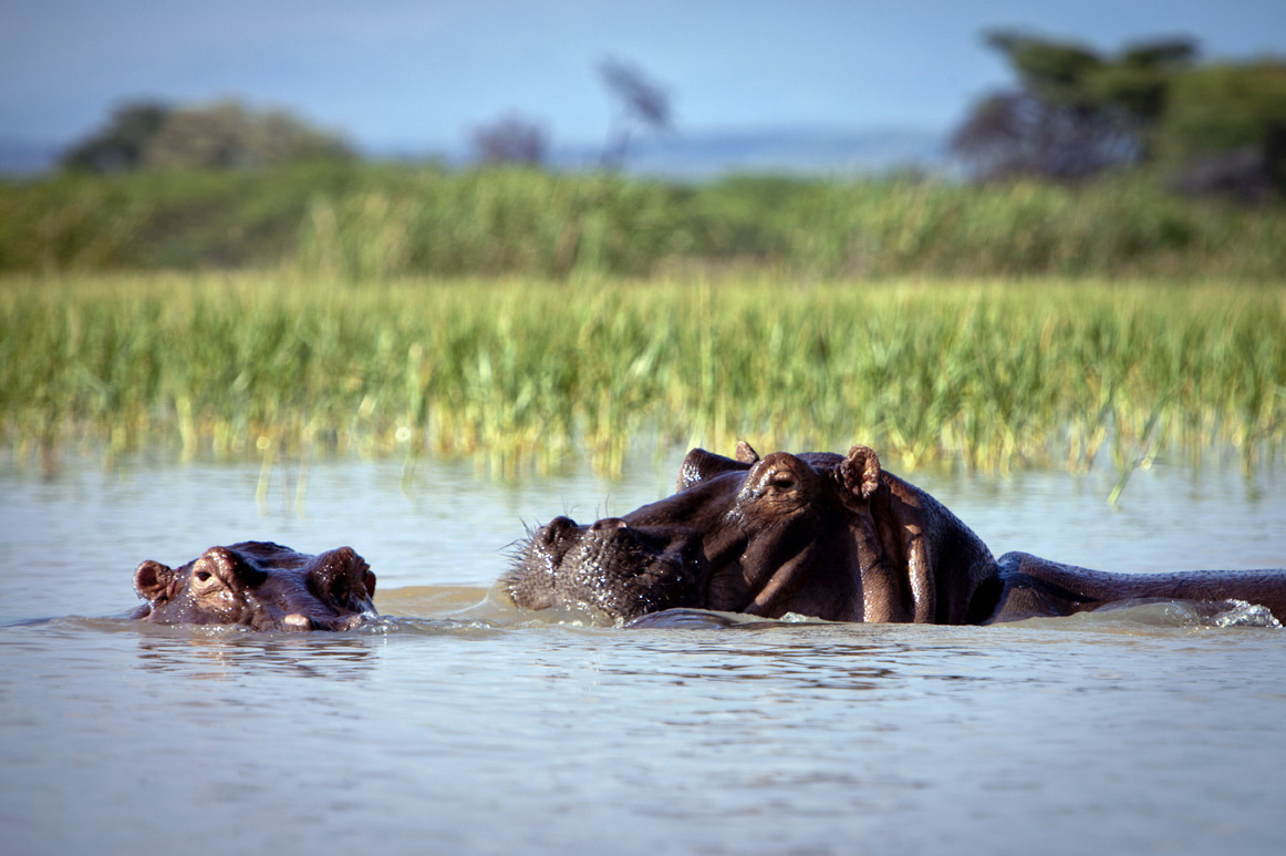 How the hell do you deal with 6,000+ hippo's?! Any first hand experience, anyone? Advice and comments left on the blog will be much appreciated!Lake Baringo,Kenya, East Africa. Image  Jason Florio for AFAR Magazine Update: Philip Harwood 'Cano…View Postshared via WordPress.com