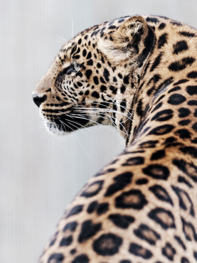 islannd:  azeiliah:  leopards are amazing  so beautiful