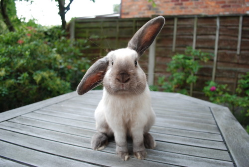 mikicafee:  dailybunny:  Bunny Is Only Half Listening Thanks, tragiclittlethings!  Ohhhhh!!! He is so cute!!! :)*