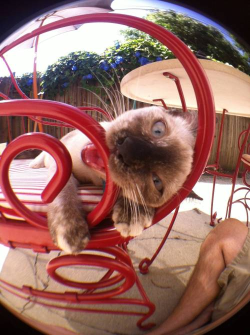 catsbeaversandducks:  Say cheese and bite a chair, Jinx! Photo via Imgur