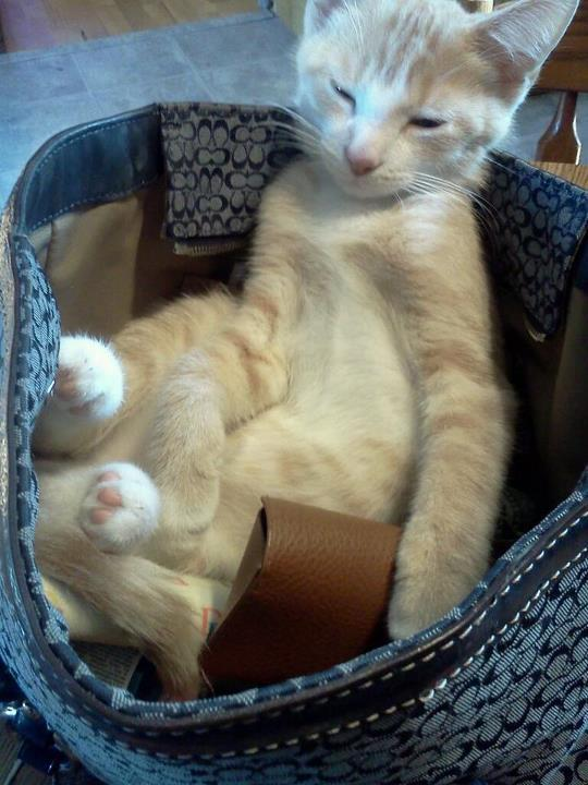 Purse Thief is taking a nap at work. Photo via Cat a Day