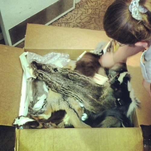Ranger Mindy and the box of death #pelts #skulls #programs #nps #ranger #rangerlife  (Taken with Instagram)