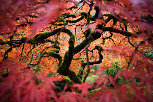 Damn it. This Japanese maple in the Portland Japanese garden is probably the most photographed tree in the world, and it looks stunning every time every time I see another photo of it in my feeds. Each one leads to an unreasonable urge to get on a plane and go find this impossibly pretty tree. I guess it's as good a reason to leave town as going to California to eat tacos, right? Winners of the National Geographic Traveler Photo Contest via The Atlantic
