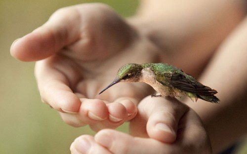 theanimalblog:  A juvenile hummingbird perches on a woman's hand to sup sugar water in Newark, Ohio. Erin Neese, who took this photo, says: He was pretty happy when he learned that he could get food from us. It was an amazing thing to be able to feed the little guy. Picture: Erin Neese / Rex Features  I Love this hummingbird.